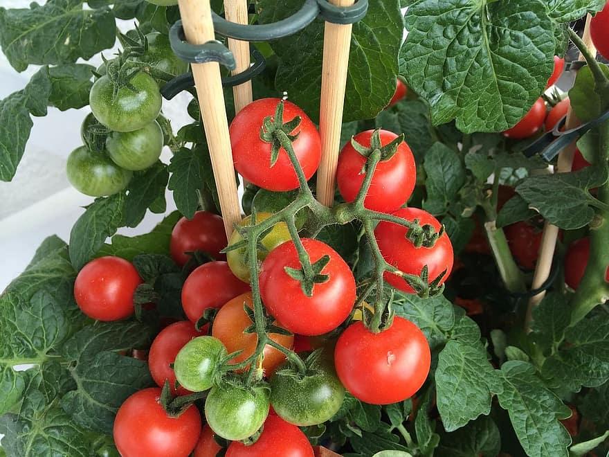 Wanneer tomaten in Kentucky moeten worden geplant voor succes